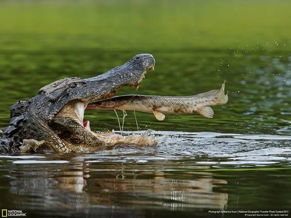 Cá sấu nước mặn sinh sống ở Australia và một số vùng Đông Nam Á, là loài bò sát lớn nhất thế giới, với chiều dài có thể lên tới hơn 6 m. Ít người có thể sống sót khi đụng độ loài này. Chúng cắn thật mạnh, sau đó lộn người để dứt tảng thịt ra trước khi nuốt chửng. Ở Australia, nhiều khu vực có biển báo cấm xuống nước, nhưng điều đó không có nghĩa là nơi không có biển sẽ an toàn. Nếu đi bộ, bạn nên tránh xa mép nước, dù đi cắm trại hay câu cá. Ảnh: National Geographic.