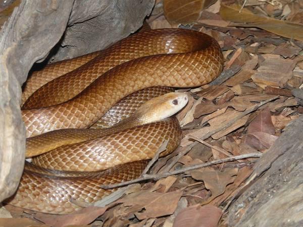 Australia có 3 trong số những loài rắn độc nhất thế giới, với rắn Taipan nội địa xếp vị trí đầu bảng. Loài rắn này khá nhút nhát và thường tránh xa người. Tuy nhiên, loài rắn Taipan Queensland lại khá hung dữ, với nọc độc trong một vết cắn đủ để giết chết 100 người trưởng thành. Nếu bị cắn, bạn hãy nhanh chóng tới bệnh viện gần nhất để được tiêm huyết thanh giải độc. Ảnh: Zoochat.