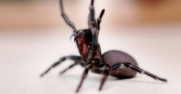 Loài nhện Sydney có nọc độc chết người, răng nanh sắc tới mức có thể xuyên qua móng tay, và hơn hết, chúng không sợ người. Một vết cắn vào ngực có thể khiến con người mất mạng sau 15 phút. Nếu bị chúng cắn, bạn cần được tiêm thuốc chữa càng nhanh càng tốt, do đó hãy gọi cấp cứu ngay. Ảnh: Rare.