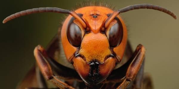 Du khách nên tránh xa tổ của chúng để không bị nhiều con tấn công. Bình thường ong bắp cày chỉ đốt khi bị kích động. Đừng bỏ chạy, vì chúng bay nhanh hơn bạn chạy nhiều và mục tiêu di chuyển càng kích thích chúng tấn công. Hãy ngồi xuống, bất động và cố gắng che đầu lại. Nếu bị đốt, hãy tới bệnh viện hoặc nhờ trợ giúp y tế ngay lập tức. Ảnh: Huffington Post.