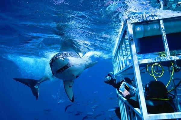 Số người thiệt mạng vì cá mập tấn công rất ít, nhưng du khách được khuyên nên chú ý tới các khuyến cáo khi tới vùng biển cá mập hay xuất hiện. Nếu chẳng may đụng độ sát thủ đại dương, hãy dùng bất cứ thứ gì bạn có trong tay (máy quay, máy ảnh, mái chèo...) đập vào đầu và vây chúng, hoặc cố đấm vào mũi chúng như một số người đã sống sót. Khi thấy cá mập, lập tức lên khỏi nước một cách bình tĩnh, đừng hoảng loạn làm nước bắn tung tóe, như thế sẽ thu hút sự chú ý của chúng hơn. Ảnh: Sportdiver.