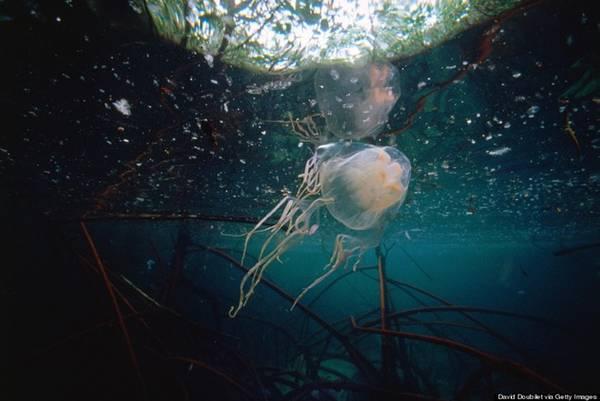 Australia - sứa box, cá sấu nước mặn, nhện Sydney, rắn Taipan: Sứa box là một trong những sinh vật nguy hiểm nhất thế giới, với nọc độc có thể giết chết người trưởng thành trong 5 phút, chứa chất gây ngừng tim, tấn công hệ thần kinh và tế bào da. Ảnh: Huffington Post.