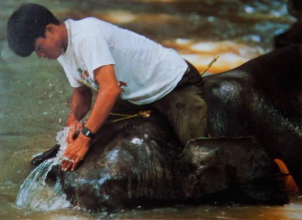 Nài voi tắm rửa cho voi trên sông Sêrêpok - Ảnh: Niimura Yoko