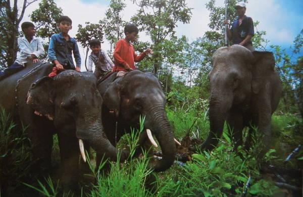 Hai chú voi con Thoong Khăm và Thoong Ngân cùng mẹ nuôi là Y Kung (góc phải) lên nương để làm sạch cỏ, cây dại - Ảnh: Niiimura Yoko