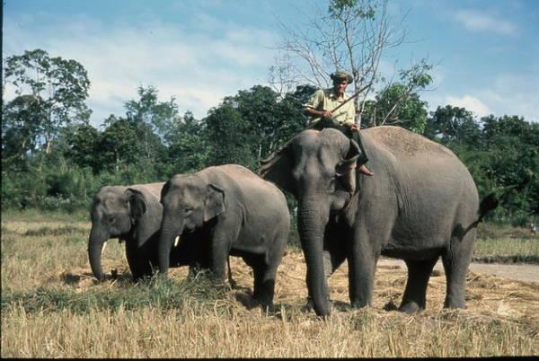 Ba mẹ con voi nhà voi. Từ trái qua phải: voi Thoong Khăm, Thoong Ngân và voi mẹ nuôi Y Kung - Ảnh: Niimura Yoko