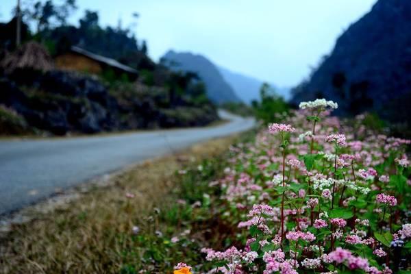 Hoa tam giác mạch nở ven đường.