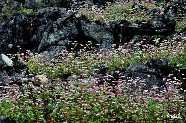 Hoa chen đá, lá chen hoa. Ảnh: Ngô Huy Hòa (hachi8)