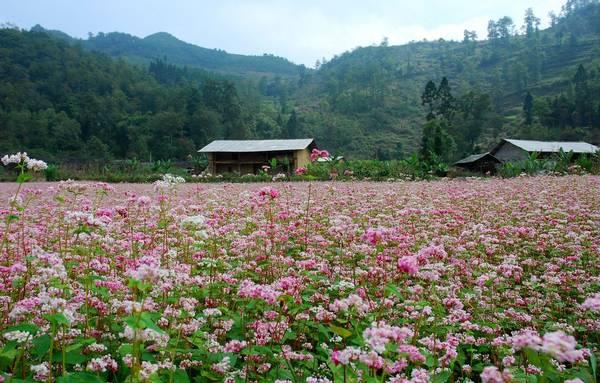 Mùa hoa tam giác mạch nhuộm thắm cả sườn đồi - Ảnh: Meo Gia
