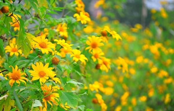 Sắc vàng quyến rũ của hoa dã quỳ. Ảnh: dulichdalat.pro