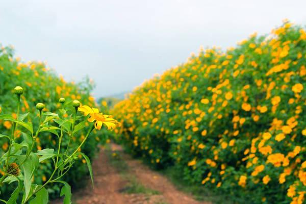 Hoa nở vàng rực trải dài khắp các con đường. Ảnh: foody