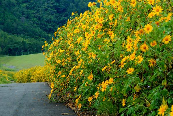 Kết quả hình ảnh cho Mùa hoa Dã Quỳ -