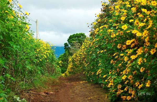 Hoa dã quỳ thường mọc ở các khu vực ngoại thành Đà Lạt. Ảnh: Hai Lúa SG/Phuot.vn