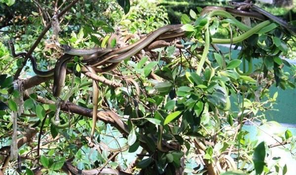 Trại rắn Đồng Tâm là trại nuôi rắn lớn nhất Việt Nam. Ảnh: Hữu Danh / Báo Lao Động.