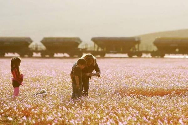 Sa mạc nở hoa là một hiện tượng thời tiết, khi lượng mưa đạt mức cao nhất, dòng nước chảy đến những hạt giống đang trong trạng thái ngủ dưới mặt đất, ép những hạt này nảy mầm và nở hoa tưng bừng vào mùa xuân. Mùa hoa nở năm nay ở sa mạc Atacama có liên quan đến cơn bão Patricia.
