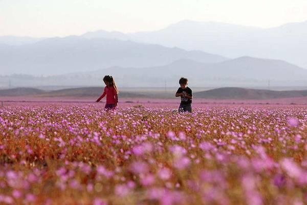 Theo người phụ trách Cục du lịch quốc gia Atacama Daniel Diaz, họ cũng kinh ngạc khi thấy hoa nở hai lần trong một năm tại sa mạc Atacama. Đây là điều chưa từng xảy ra trong lịch sử Chile.