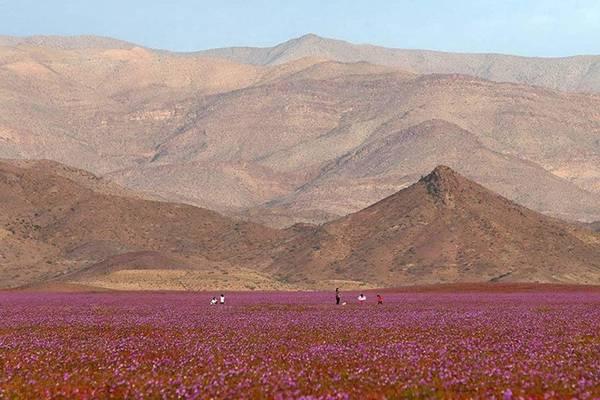 Dù Diaz cho rằng hiện tượng kỳ lạ này câu chuyện của biến đổi khí hậu cực đoan, người dân địa phương lại phấn khích khi du khách tấp nập đổ về. Dự kiến có khoảng hơn 20.000 du khách đến sa mạc ngắm hoa.