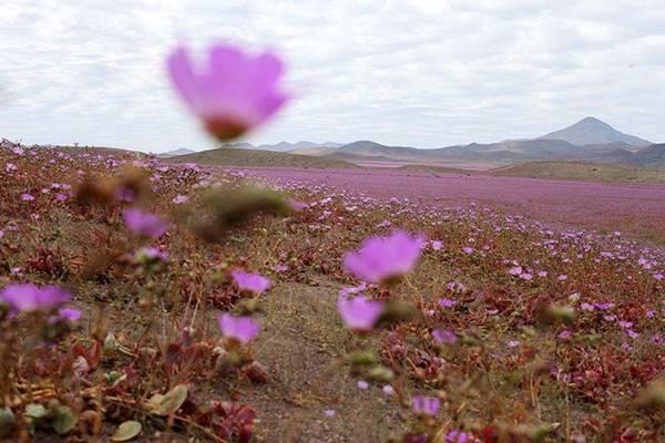 Đây không phải là sa mạc duy nhất biết mọc hoa. Trước đó sa mạc ở bang Utah của Mỹ cũng từng xảy ra hiện tượng như thế này.