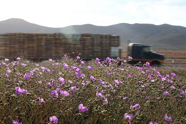 Có khoảng 200 loài hoa tồn tại ở sa mạc Atacama.