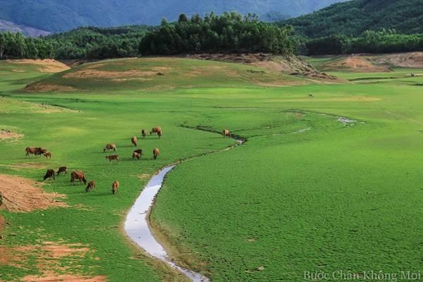 Đàn bò tranh thủ gặm cỏ trên đường về khi chiều buông.