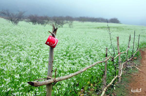 Mùa hoa cải trắng Mộc Châu. Ảnh: Hachi8