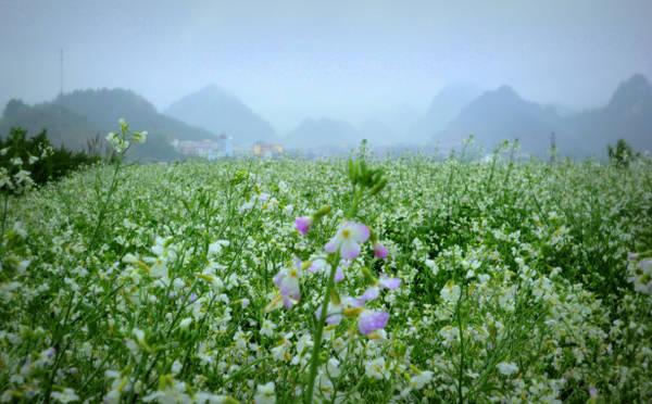 Hoa cải bung nở trong sương sớm. Ảnh: zzugi.wordpress.com