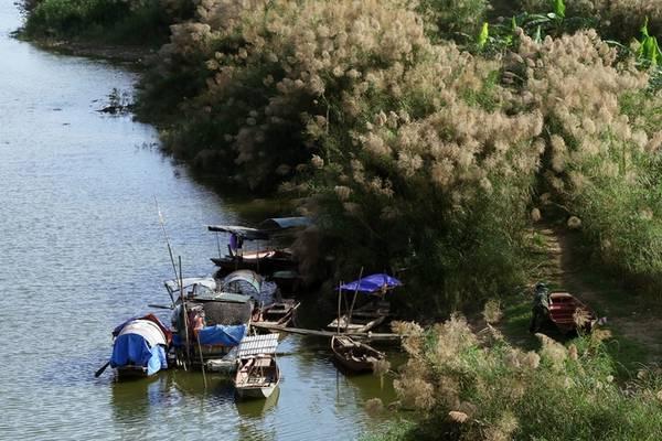 Hoa cỏ lau cao đến 2 m mọc thành từng khóm lớn trải dài hai bờ sông khoe sắc tô điểm cho vẻ đẹp của cây cầu lịch sử.