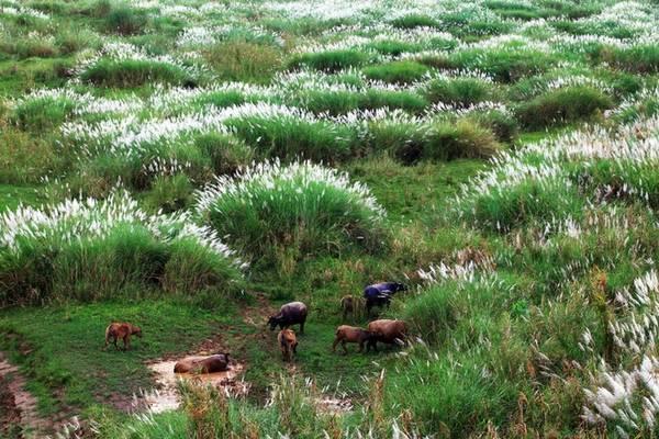 Đâu đó là cảnh tượng hiếm thấy với những chú trâu, bò đang nhởn nhơ gặp cỏ dưới những khóm lau.