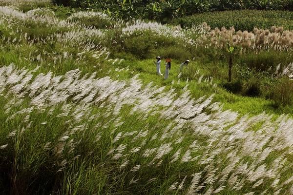 Vào mỗi khoảng thời gian sáng sớm hay cuối chiều là lúc ngắm cỏ lau đẹp nhất dưới chân cầu Long Biên.