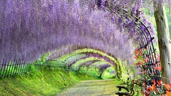 Kyushu, Nhật Bản: Nằm ở phía tây nam Nhật Bản, đảo Kyushu có vườn Kawachi Fuji nổi tiếng với dàn hoa tử đằng tuyệt đẹp. Artisans of Leisure cung cấp tour mới cho năm 2016, với các điểm tham quan nổi bật của đảo như Fukuoka, Nagasaki, Kumamoto, Yufuin và Beppu.