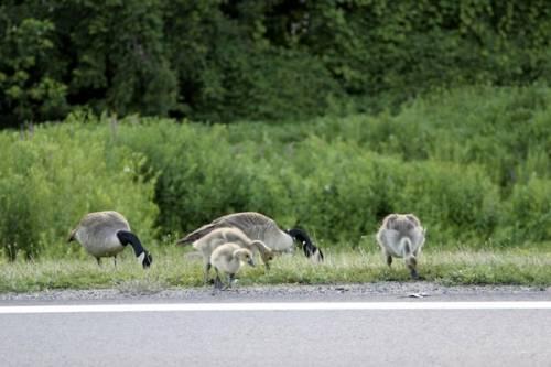 Chim chóc có quyền di chuyển trên đường cao tốc.