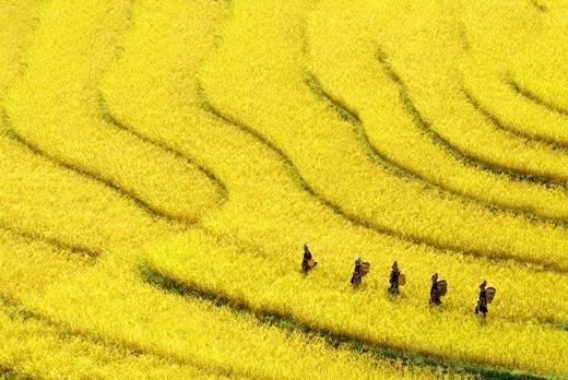 Ruộng bậc thang ở bang Shan chuyển sang một màu vàng thích mắt. (Nguồn: Internet)