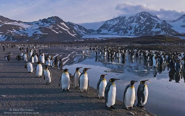 <strong>Đảo Nam Georgia, Lãnh thổ thuộc Anh:</strong> Tới đây, du khách có thể chiêm ngưỡng cảnh tượng hàng trăm nghìn con chim cánh cụt chen chúc trên bãi biển gập ghềnh, xen lẫn những con hải cẩu voi nặng tới 2 tấn và đàn hải âu bay lượn trên bầu trời. Bạn chỉ có thể tới đây bằng thuyền và phải mất 5 ngày lênh đênh dưới nắng gió biển khơi. Ảnh: Mike Reyfman.