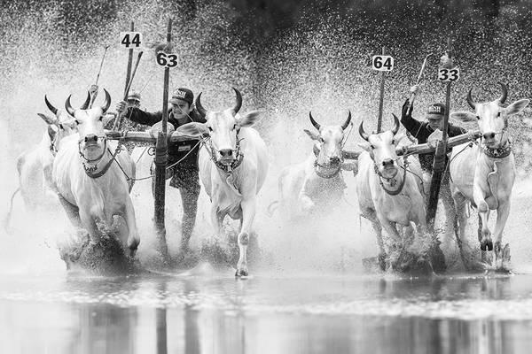 Lễ hội Đua bò của đồng bào Khmer ở Châu Đốc, An Giang. Ảnh: JetHuynh/Picfair.