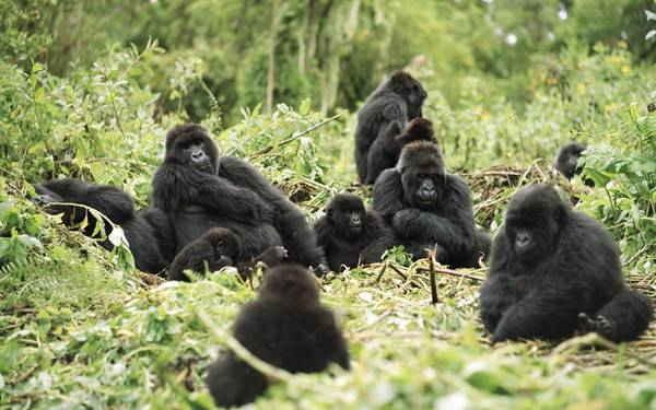Tiếp cận những chú khỉ đột, Rwanda: Đến thăm công viên quốc gia Volcanoes của Rwanda là một trải nghiệm khó quên. Du khách sẽ đi theo con đường mòn xuyên rừng rậm lên đỉnh Virunga, nơi sinh sống của nửa số khỉ đột núi còn tồn tại trên thế giới. Chuyến đi khá vất vả, nhưng bạn sẽ được tiếp cận một trong những loài động vật tuyệt vời nhất thế giới. Ảnh: Roughguides.