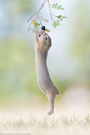 Henrik Spranz (Đức) gửi ảnh một loài gặm nhấm đang nhảy lên với quả dâu rừng.