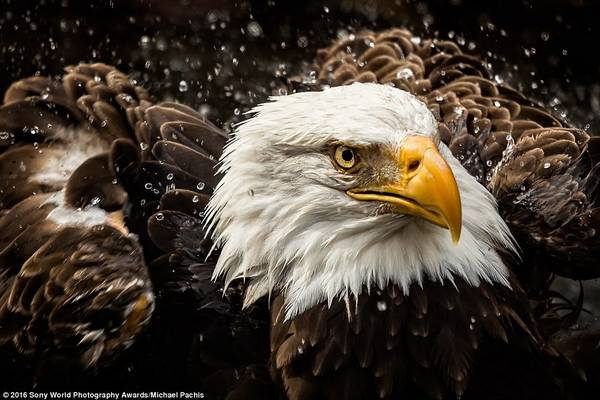 Bức ảnh tuyệt đẹp của Michael Pachis cho người xem chiêm ngưỡng đại bàng trong cơn mưa.