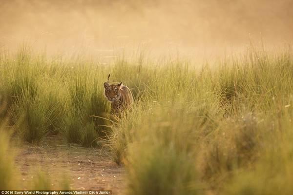 Vladimir Cech Junior (Cộng hòa Czech) chụp một chú hổ ẩn mình trong vạt cỏ dài ở Ấn Độ.