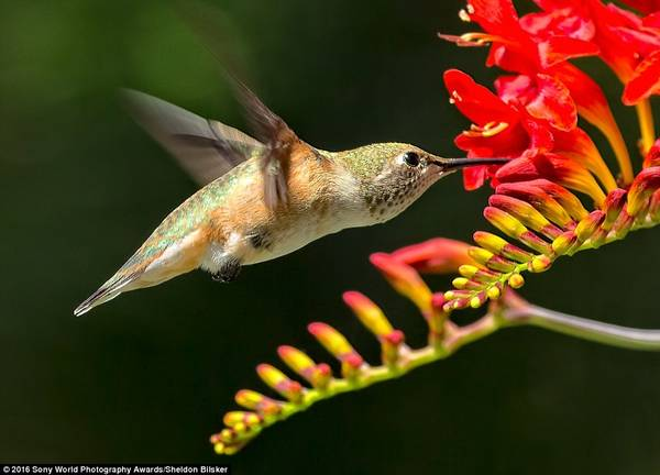Sheldon Bilsker (Canada) chia sẻ bức ảnh một chú chim ruồi đang kiếm ăn.