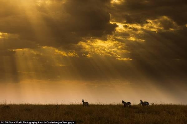 Govindarajan Venugopal (Ấn Độ) dự thi với bức ảnh chụp những con ngựa vằn trong ánh bình minh.