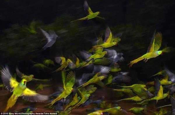 Taha Ahmed (Ấn Độ) chụp những chú chim rực rỡ sắc màu trong chuyến bay đêm.