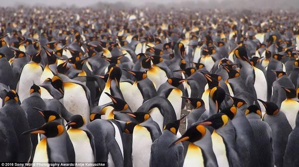 Hàng trăm con chim cánh cụt vua xuất hiện trong ảnh của Antje Kakuschke (Đức).