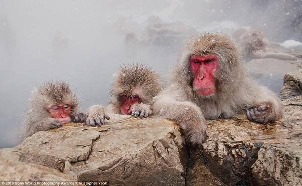 Những con khỉ đang ngâm mình trong suối nước nóng trong trời tuyết rơi nhẹ ở Nhật Bản dưới góc máy của Christopher Yeoh (Australia).