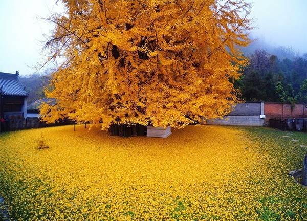 Lá cây chuyển màu vàng rực và bắt đầu rụng từ giữa tháng 11, biến phần sân đền thành một biển lá vàng.