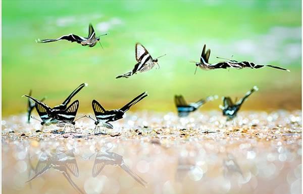 """Đây là tác phẩm """"Những cánh hoa rừng"""" của tác giả Lý Phú Tài. Tác giả cho biết, bức ảnh này được ông ghi được trong một lần đến rừng nguyên sinh Mã Đà, Đồng Nai. Trong ảnh là những con bướm đang tìm bạn tình mùa sinh sản."""