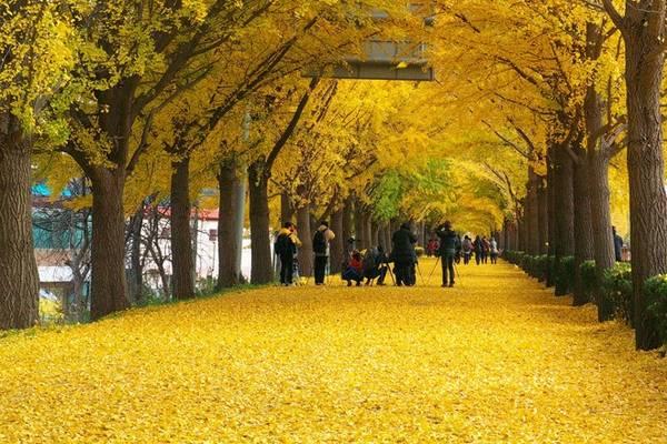 Cuối thu, con đường dẫn vào đền Hyeonchungsa, ngôi đền cổ của vùng Asan, thay một lớp áo vàng.