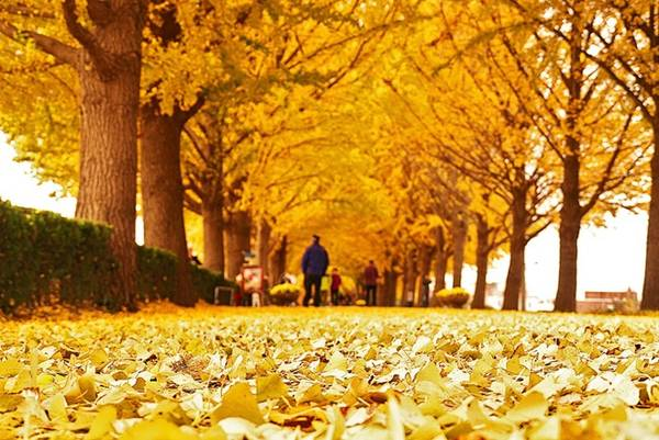Thảm lá vàng lao xao dưới bước chân du khách, tạo cho bạn cảm giác như lạc vào một bộ phim lãng mạn.