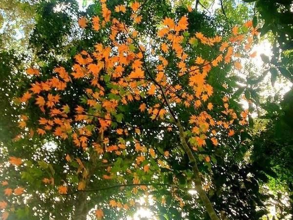 Nếu như Tây Bắc, Đông Bắc với lượng cây mọc rất ít, thì tại hồ Tuyền Lâm du khách có thể thoả sức quan sát lá phong đang mùa thay lá, rất nên thơ và lãng mạn. Ảnh : Anh Tuấn