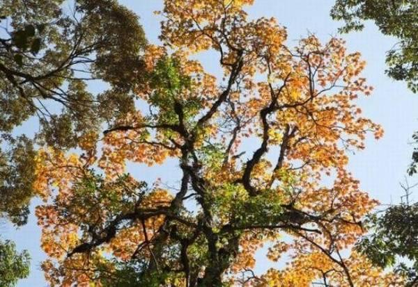 Những hàng cây cổ thụ vươn mình đón mùa đông ấm áp, lá cây đang chuyển mình thay lá.