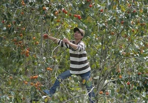 Không những được ngắm lá phong đang mùa thay sắc lá, bạn còn tham gia được các hoạt động nông trại như hái hồng, đào khoai lang, hái dâu...