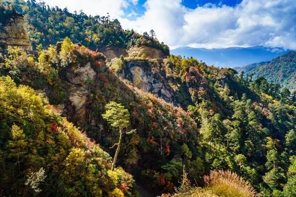 Từ Bumthang sang Mongar, cảnh sắc giống vùng ôn đới như châu Âu, với những khu rừng thông đại cổ thụ ở độ cao trên 3.000 m. Rừng lá phong chuyển sắc đỏ sắc vàng rực rỡ xen kẽ với màu xanh lá thông và những đỉnh núi tuyết trắng xa xa. Ảnh: Nguyễn Thanh Tùng.